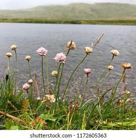 Armeria maritima (thrift, sea thrift, sea pink) flowering plant in Vesturland, Iceland.