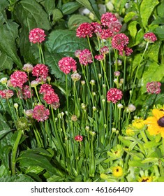Armeria or Sea- Pink Blossoms in the garden.