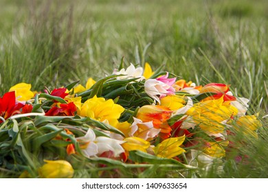 An armful of wild dwarf tulips lying on the grass. Beautiful fragile flowers of the Republic of Kalmykia. The jewel of nature.