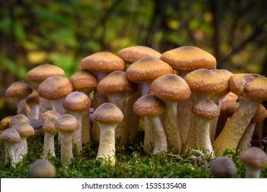 Armillaria mellea, commonly known as honey fungus - a basidiomycete fungus in the genus Armillaria (close-up).