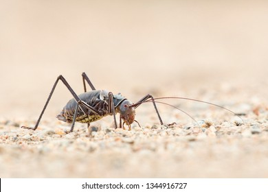 Armour plated cricket