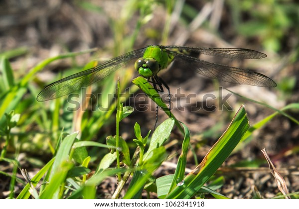 Army dragonfly in the grass!