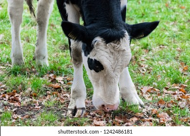 ARNHEM, NETHERLANDS - NOVEMBER 24, 2018: Close up of a black and white Holstein milk cow grazing in The Netherlands