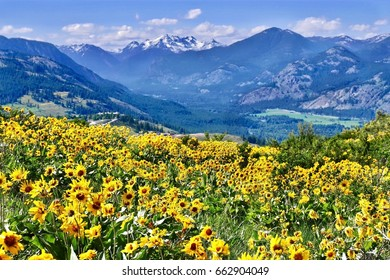 Arnica in alpine meadows. Patterson Mountain near Winthrop, Washington.  North Cascades National Park. USA.