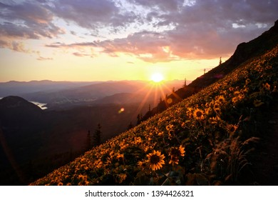 Arnica in alpine meadows at sunset. Sun flowers in Columbia River Gorge. Portland. Vancouver. Oregon. United States of America