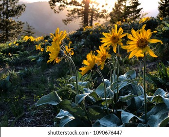 Arnica or Arrowleaf Balsamroot flowers in alpine meadows at sunset. Ocanogan National Forest in North Cascades Mountains.  Winthrop. Washington. United States of America.