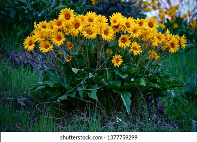 Arnica or Balsamroot flowers in full bloom near Leavenworth. Washington. United States