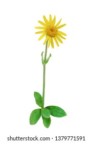 Arnica In Bloom (Arnica montana) isolated on White background