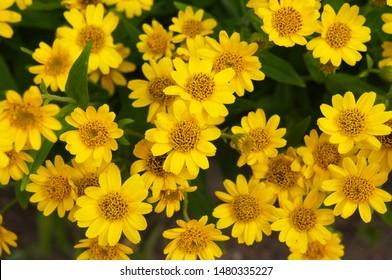 Arnica chamissonis foliosa yellow flowers