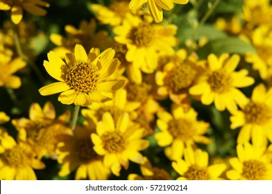 Arnica chamissonis yellow flowers