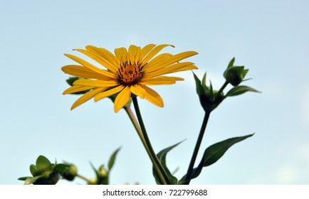 Arnica Cordifolia Heartleaf Arnica Yellow Flower with Long Petals (sunflower family)