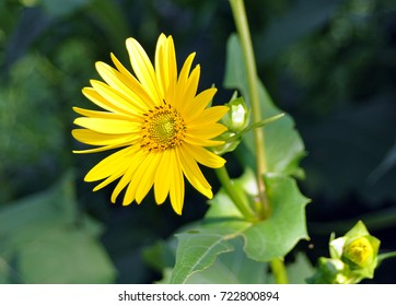 Arnica Cordifolia, Heartleaf Arnica, Yellow Flower with Long Petals (sunflower family)