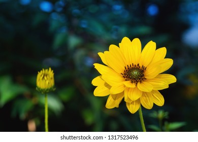 Arnica flower blossom in a dark background. close up.