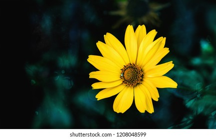 Arnica flower blossom on a dark green background. Close up.
