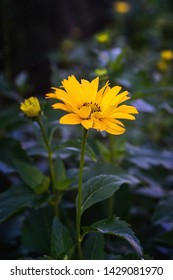 Arnica flower blossom on a dark background. Close up.