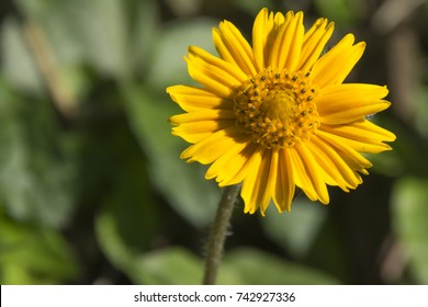 Arnica Flower, Heartleaf, close up macro in beach, Florianópolis - Brazil.