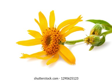 Arnica flower isolated on white background