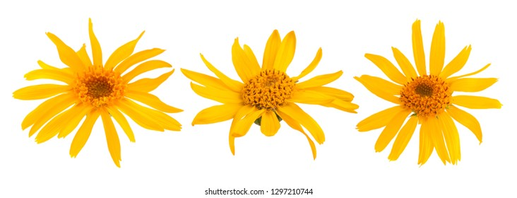Arnica flowers isolated on white background