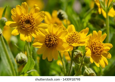 Arnica foliosa in garden. Yellow flowers Arnica foliosa. Medicinal plants in the garden.