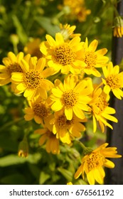 Arnica foliosa yellow flowers with green