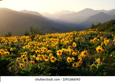 Arnica and Lupine wildflowers in meadows at sunrise. Beautiful landscape with wild sunflowers in Cascade Mountains. Winthrop. Washington State. United States of America.