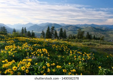 Arnica in meadows in full bloom. Rolling hills  near Winthrop. North Cascades Mountains. Washington. United States of America
