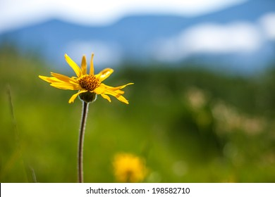 Arnica montana in carpathian mountain.