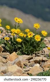 Arnica montana (doronicum grandiflorum) found in the Swiss alps.
