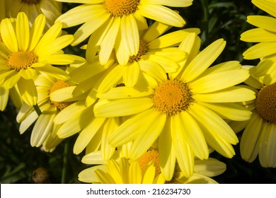 Arnica montana, European flowering plant used in herbal medicine