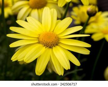 Arnica montana, European flowering plant used in herbal medicine