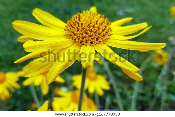 Arnica Montana Flower Stock Photo (Edit Now) 1167770950