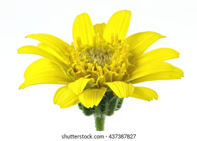arnica montana flower head against white background