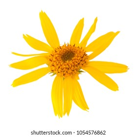 Arnica montana flower head isolated on white background