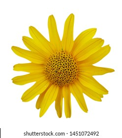Arnica montana flower head isolated on white background. Yellow daisy flower isolated on white background