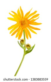 Arnica montana flower isolated on white background