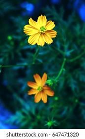 Arnica Montana flower.  Arnica Montana in the morning on rainy season. Thailand