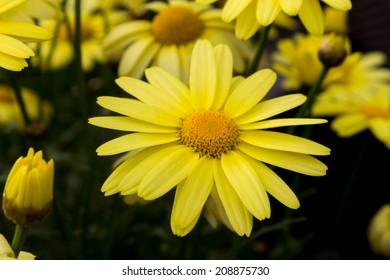 Arnica montana flowers, European flowering plant used in herbal medicine