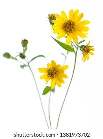 Arnica (Arnica montana) - flowers isolated on white background