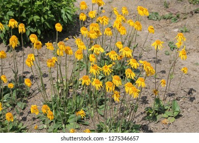 Arnica montana or Mountain arnica. General view of group of flowering plants in garden