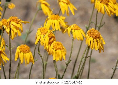 Arnica montana or Mountain arnica. Group of yellow flowers in garden