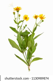 Arnica montana plant, isolated