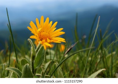 arnica in the mountains