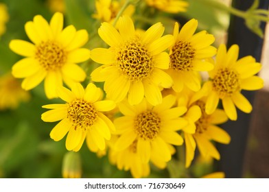 Arnica sachalinensis many yellow flowers with green