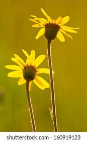 Arnica (yellow flowers)