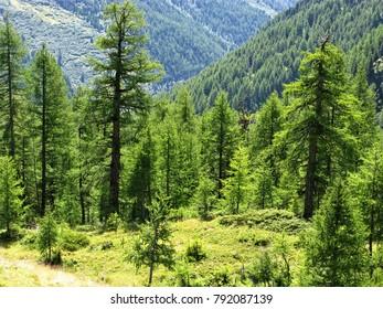 Arolla pine trees catching the light in an alpine valley near Arolla, Switzerland