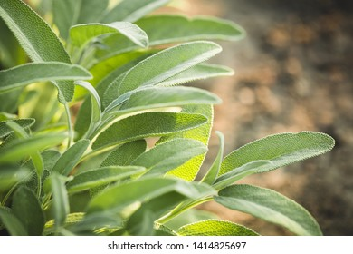 Aromatic common sage leaves growing in a garden. Sage plant. Salvia Officinalis.