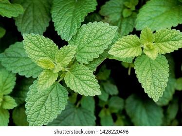 aromatic Leaves of lemon balm