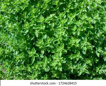 aromatic and medicinal thyme plant italy europe