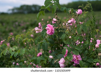 Aromatic roses in close-up and part of a rose field. Bulgarian roses
