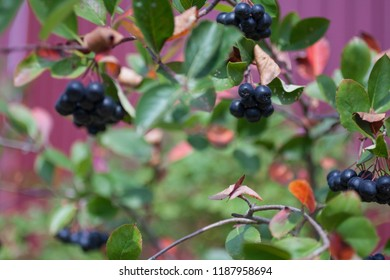 Aronia berries (Aronia melanocarpa, Black Chokeberry) growing in the garden. Branch filled with aronia berries